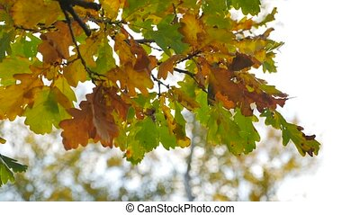 fall autumn yellow dry oak leaves background blur