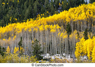 Fall Color and Snow in Colorado - Close up of large grove of...