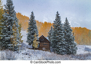 Snowy scene with yellow Aspen trees and snow flurries in full autumn color on mountainside with abandoned cabin surrounded by snow covered pine trees