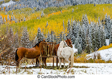 Three horses in coral in mountain meadow on snowy autumn morning with changing Aspen trees and snow covered pine trees in background
