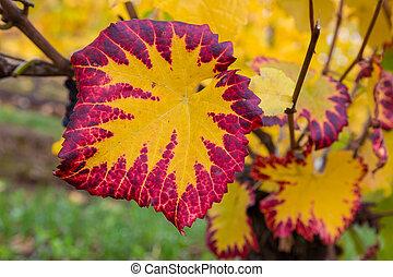 Fall Color of Grape Foliage Macro