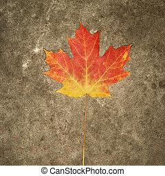 Fall colored maple leaf.