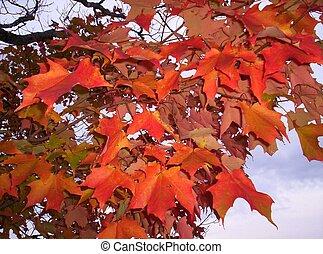 Fall colors autumn maple leaves Lunenburg County Nova Scotia...