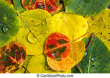 Close up macro shot of Aspen tree leaves in various stages of changing colors with water drops