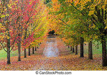 Fall Colors in Oregon - Fall Colors of Maple Tree Lined Path...