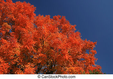 Tree with fiery red colors of autumn