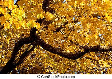 fall- farbe, schwarz, ulme, (also, bekannt, als, kork, elm)