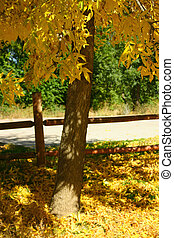 Fall Foliage - Ash trees (Fraxinus pennsylvanica) exhibit...