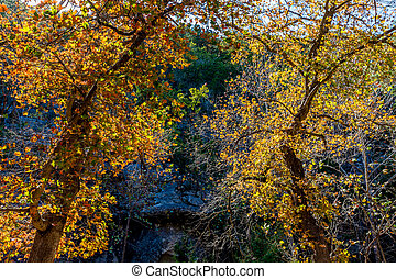 Fall Foliage at Lost Maples State Park in Texas. - A ...
