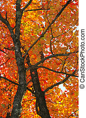 Fall foliage colors and details in Acadia National Park in...