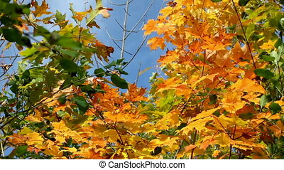 Fall Foliage - Leaves Turning Orange And Yellow On A Sugar...