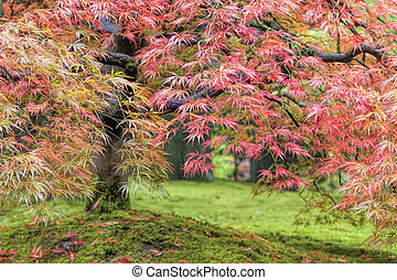 Fall Foliage of Japanese Maple Tree