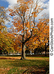 Fall Foliage on a Maple Tree in Indian Summer
