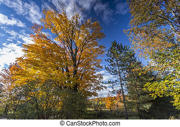 Fall Foliage on Beautiful Maple Trees