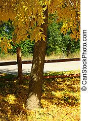 Fall Foliage - Ash trees (Fraxinus pennsylvanica) exhibit...