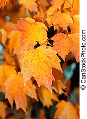 Fall Foliage - Brightly lit golden colors of the autumn...