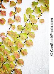 Fall Foliage, Vine leaves