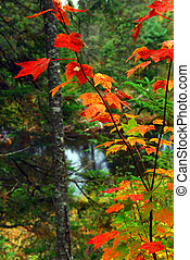 Fall forest and river - Fall forest with river in the...