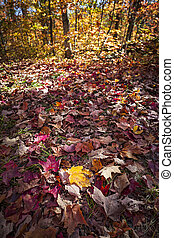 Fall forest floor with autumn maple leaves