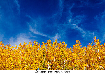 Close up of tops of brightly colored yellow Aspen tree leaves with wispy white clouds in bright blue sky