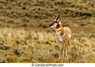 North American pronghorn antelope buck standing by ranch fence on cloudy fall morning