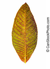 Fall leaf isolated on white background