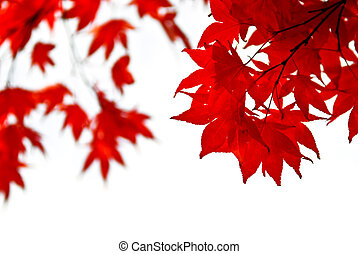 Fall leaves background - Red fall leaves of japanese maple...
