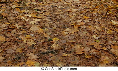 fall leaves in autumn park