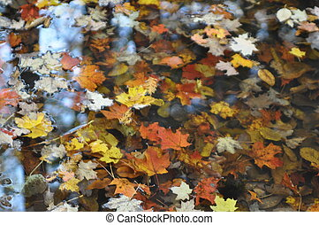 Fall leaves in water