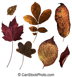 Fall Leaves - Leaves from the eastern state of Virginia,...