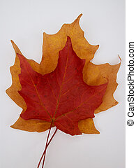 fall leaves - one fall leaf on top of another