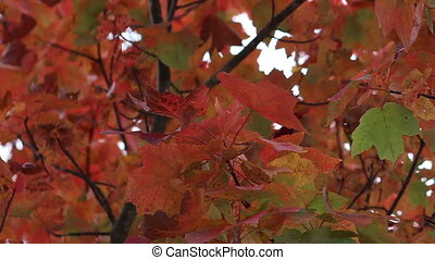 Fall leaves panning shot three - Panning shot three of fall...