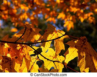 fall leaves - sugar maple in October