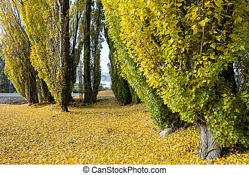 fall leaves trees in Cromwell, Otago New Zealand