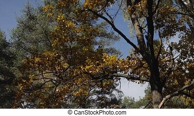 Fall leaves with the blue sky background. Colorful foliage...