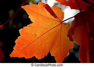 Backlit fall maple leaf in a forest