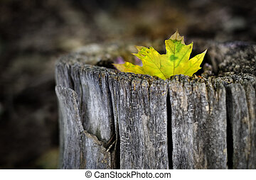 Fall Maple Leaf in Tree Trunk Old Autumn Wilderness
