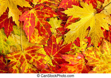 Fall maple leaves background - Autumn maple leaves as bright...