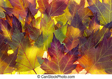 Fall Maple Leaves Background Backlit in Autumn Sun
