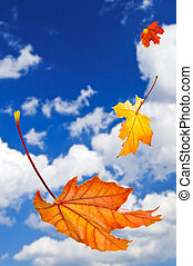 Fall maple leaves falling on blue sky background