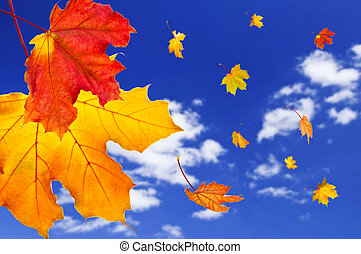 Fall maple leaves background - Fall maple leaves falling on ...
