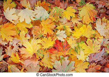 Fall Maple Leaves in Full Color