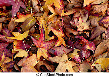 Fall - maple leaves on the ground