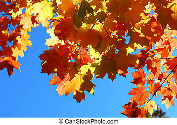 Fall maple leaves - Red fall glowing maple tree leaves on...