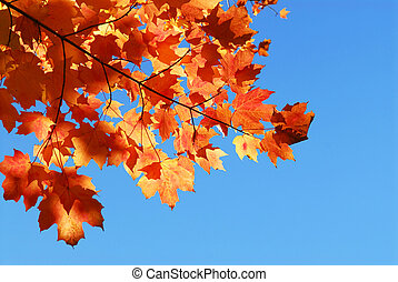 Fall maple leaves - Red fall maple tree leaves on blue sky ...