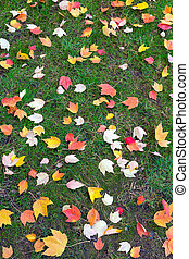 Fall Maple Tree Leaves on Green Lawn