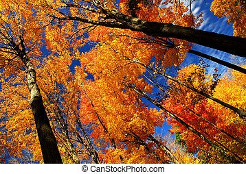 Fall maple trees glowing in sunshine with blue sky ...