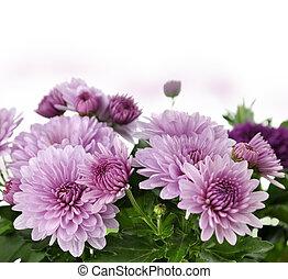 Mum Flowers - Fall Mum Flowers On White Background