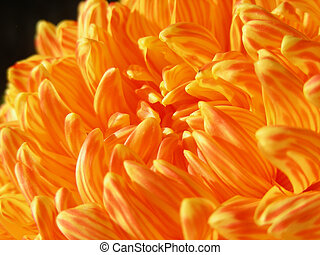 Fall Mum - Lovely orange stripped mum - just right for fall.