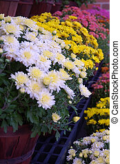 Baskets and baskets of colorful garden mums at the farmers market.